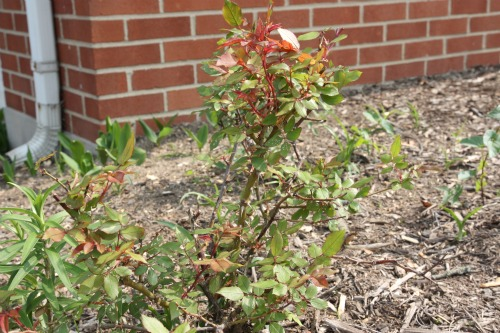 Transplanting Mature Rose Bushes 87