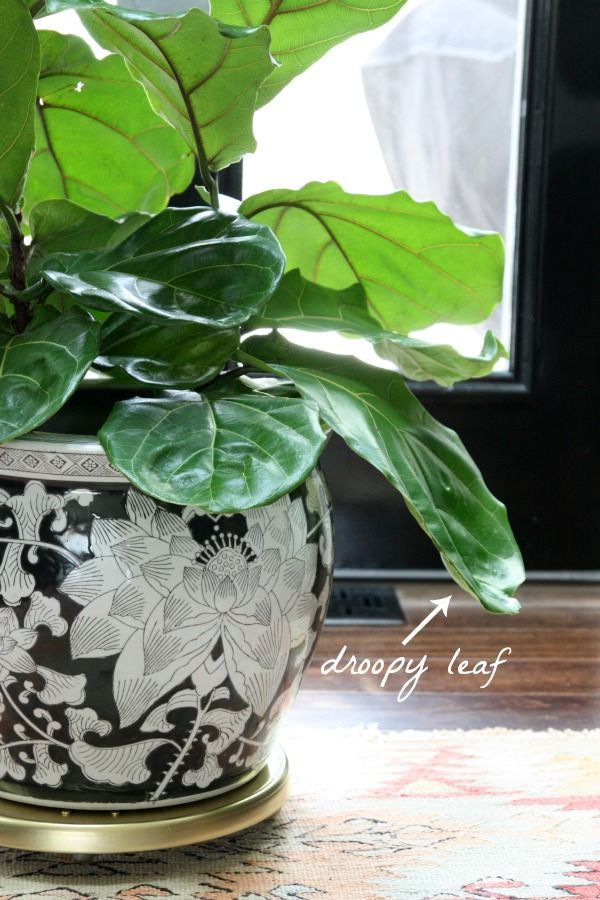 fiddle leaf fig 3