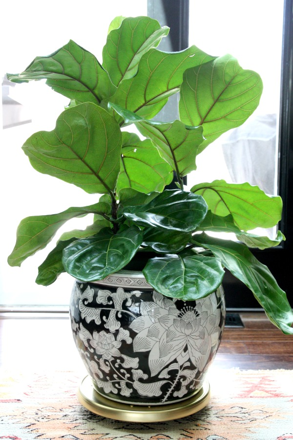 fiddle leaf fig 6