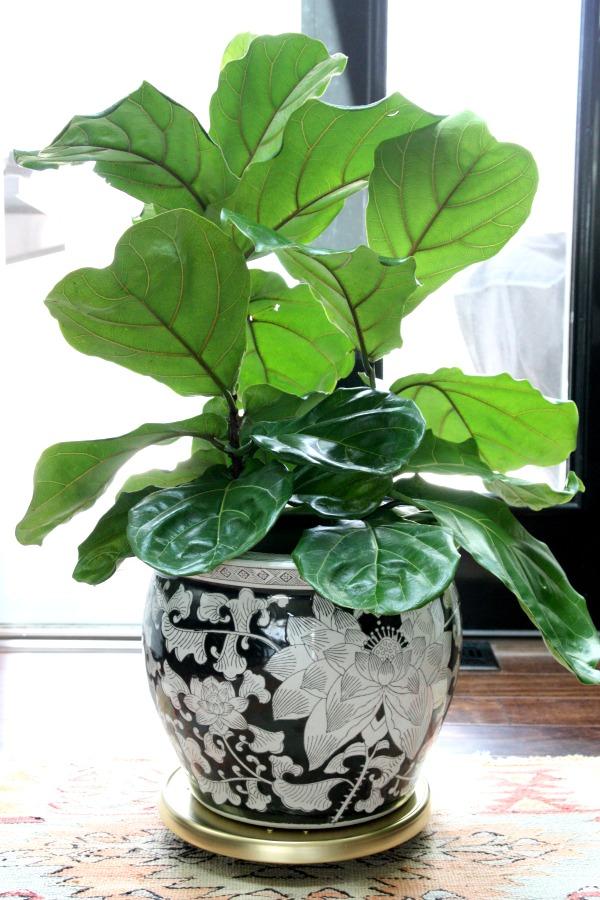 Fiddle Leaf Fig 6