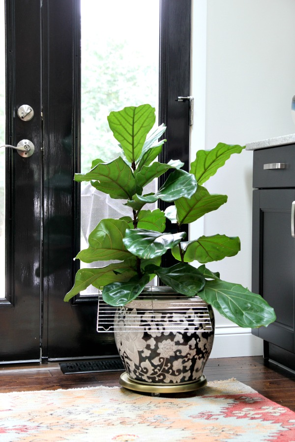 cat paraphernalia - fiddle leaf fig